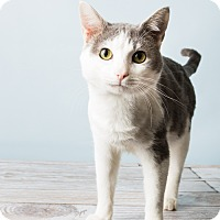 Domestic Shorthair Cat for adoption in Hendersonville, North Carolina - Dickens