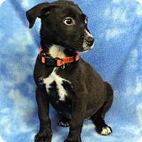 Adopt A Pet :: DARRIN - Westminster, CO