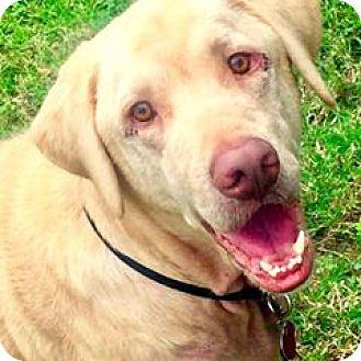 Labrador Retriever Mix Dog for adoption in Aiken, South Carolina - Marshall