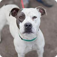 Pit Bull Terrier Mix Dog for adoption in Fresno CA, California - Dottie
