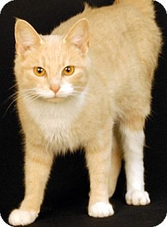 Domestic Shorthair Cat for adoption in Newland, North Carolina - Atlantis