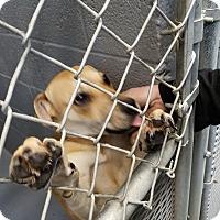 Adopt A Pet :: Lilac - Las Vegas, NV