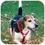 Photo 1 - Beagle Mix Dog for adoption in Chicago, Illinois - Cyrus