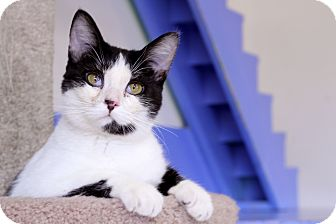 Domestic Shorthair Cat for adoption in Chicago, Illinois - Stuffy Walton