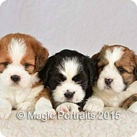 Adopt A Pet :: pups 1 left - Northumberland, ON