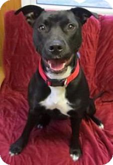 Labrador Retriever/Pit Bull Terrier Mix Dog for adoption in Cambridge, Maryland - Beauty