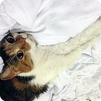 Adopt A Pet :: Marvelous Mochi Gorgeous Young Calico - Brooklyn, NY