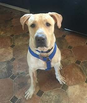 Labrador Retriever Mix Dog for adoption in Broomfield, Colorado - CeeBee