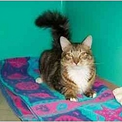 Photo 1 - Domestic Mediumhair Kitten for adoption in Secaucus, New Jersey - The Commander