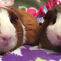 Adopt A Pet :: Kaboom - Steger, IL