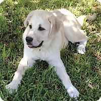 Adopt A Pet :: Baby Bear - Kyle, TX