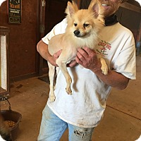 Pomeranian Mix Dog for adoption in guthrie, Oklahoma - Scooter