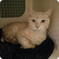 Adopt A Pet :: Cappuchino - Cary, NC