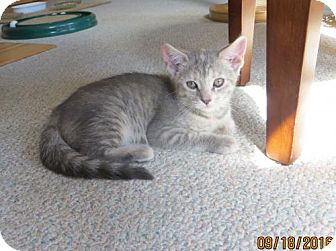 Domestic Shorthair Kitten for adoption in Lockport, New York - Opal