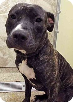 American Staffordshire Terrier Mix Dog for adoption in Plainfield, Illinois - ADOPTED!!!   Braiden