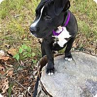 Pit Bull Terrier Mix Dog for adoption in New York, New York - Brutus