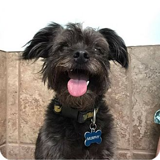 Poodle (Miniature)/Yorkie, Yorkshire Terrier Mix Dog for adoption in Fayetteville, Arkansas - Murphy