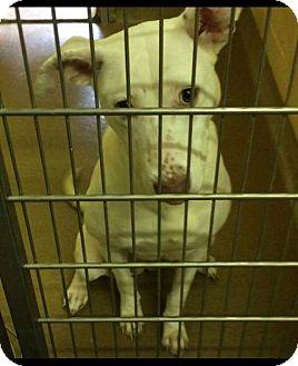 Husky/Labrador Retriever Mix Dog for adoption in Lima, Pennsylvania - Paige