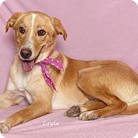 Adopt A Pet :: Layla - Kerrville, TX