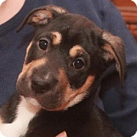Adopt A Pet :: Socks-PENDING - Garfield Heights, OH