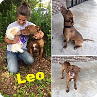 Adopt A Pet :: Leo - Cantonment, FL