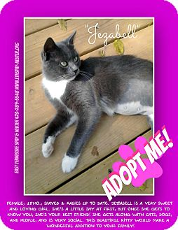 Domestic Shorthair Cat for adoption in Bluff city, Tennessee - JEZZABELL
