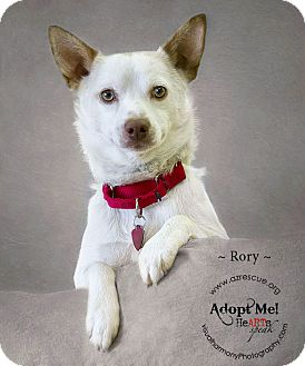 Cattle Dog Mix Dog for adoption in Phoenix, Arizona - Rory