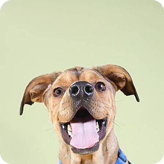 Boxer/Labrador Retriever Mix Dog for adoption in Brooklyn, New York - Manny