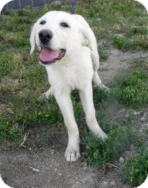 Golden Retriever/Great Pyrenees Mix Puppy for adoption in Cheyenne, Wyoming - Diamond