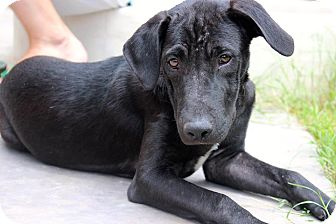 Labrador Retriever Mix Puppy for adoption in Gilbert, Arizona - Pearl