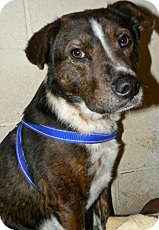 Australian Shepherd/Border Collie Mix Dog for adoption in Converse, Texas - Haywire