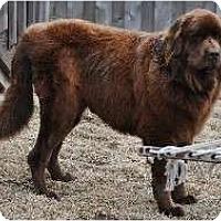Adopt A Pet :: Brownie - Adoption Pending - Lee's Summit, MO