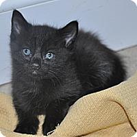 Adopt A Pet :: Midnight - New Smyrna Beach, FL