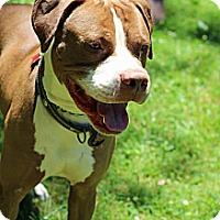 Adopt A Pet :: Maple - Tinton Falls, NJ