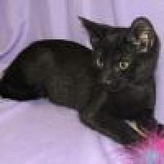 Domestic Shorthair Cat for adoption in Powell, Ohio - Dewey