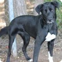 Retriever (Unknown Type) Mix Dog for adoption in Yukon, Oklahoma - Bippity