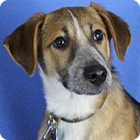 Adopt A Pet :: Radley - Minneapolis, MN