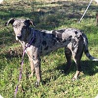 Adopt A Pet :: JADE - Ascutney, VT