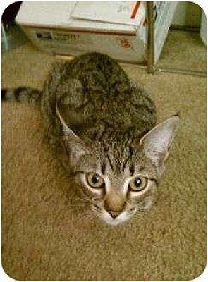 Domestic Shorthair Kitten for adoption in Trexlertown, Pennsylvania - Tillie- New pictures!