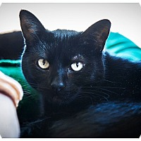 Domestic Shorthair Cat for adoption in Middletown, New York - Willow