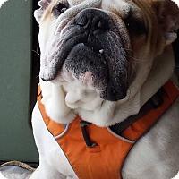 English Bulldog Dog for adoption in Chicago, Illinois - Crowley