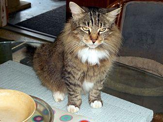 Domestic Longhair Cat for adoption in Bonita Springs, Florida - Zuni