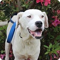 Adopt A Pet :: Shine - Pawling, NY