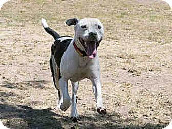 American Pit Bull Terrier Mix Dog for adoption in Agoura, California - Sid