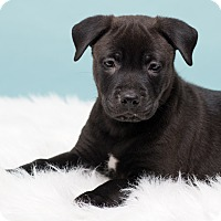 Adopt A Pet :: Amiki - Westfield, NY