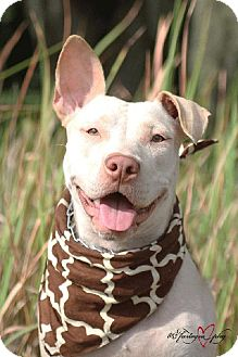 Pit Bull Terrier Mix Dog for adoption in Plant City, Florida - Rose (Goldie)