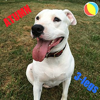American Pit Bull Terrier Mix Dog for adoption in Greenville, Ohio - Autumn