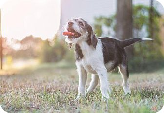 Shepherd (Unknown Type)/Hound (Unknown Type) Mix Puppy for adoption in Severn, Maryland - Carli