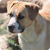 Boxer Mix Dog for adoption in Hudson, New Hampshire - Gar