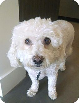 Bichon Frise/Poodle (Miniature) Mix Dog for adoption in East Hanover, New Jersey - Digger
